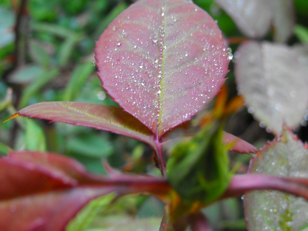 alcn leaf