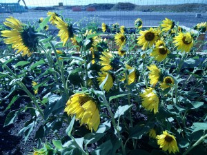 Sunflowers field trial