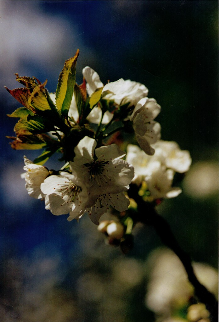 alcn cherry blossom