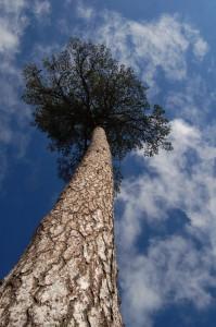 alcn tree