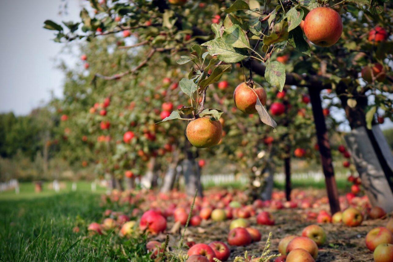 Apple biorefinery